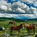 Wild horses in Dovrefjell, Norway