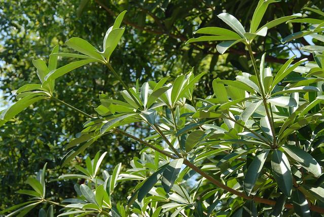 夾竹桃科 Alstonia scholaris 黑板樹 三和國小