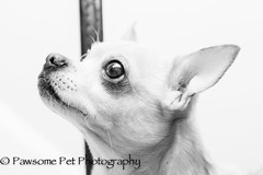 Harley the foster in B&W