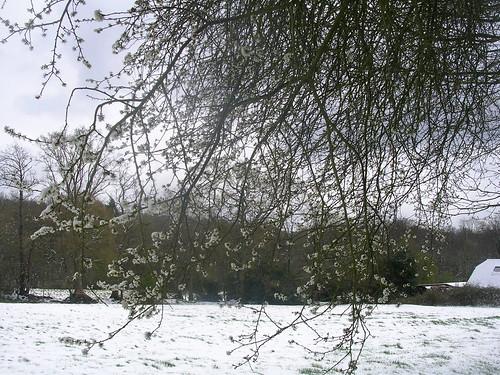 Snow on blossom