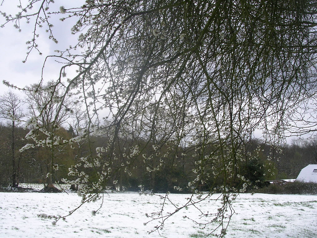 Snow on blossom Haslemere Circular (silent walk)