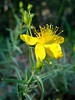St. John's wort - Photo (c) randomtruth, some rights reserved (CC BY-NC-SA)