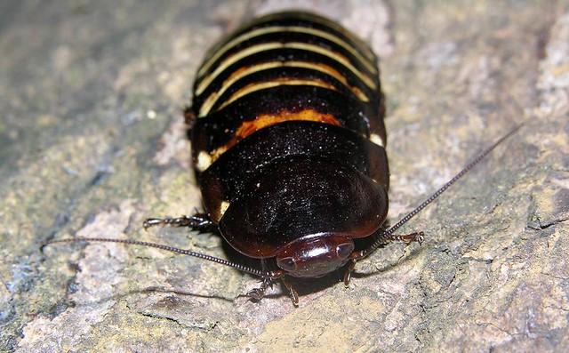 Hissing roach (Elliptorhina sp), N Madagascar