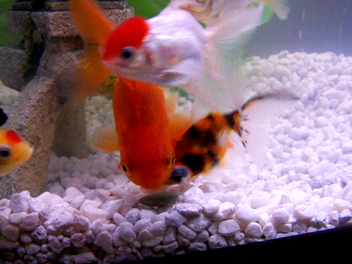 Goldfish eating an algae wafer snack :)