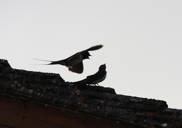 Swallows - training chicks to feed & fly
