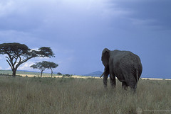 Elephant walking through brush