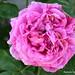 Estavayer Rose 1