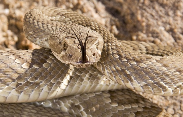 Rattlesnake Facts And Information Rattlesnake Facts