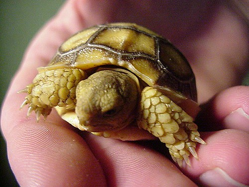 Paul's Geochelone Sulcata tortoise hatchling—close up view