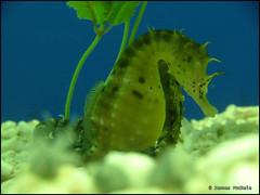 seahorse, animal, organism, marine biology, fauna, freshwater aquarium, underwater,