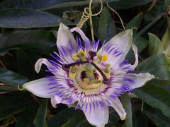 giant granadilla(0.0), flower(1.0), purple passionflower(1.0), plant(1.0), flora(1.0),