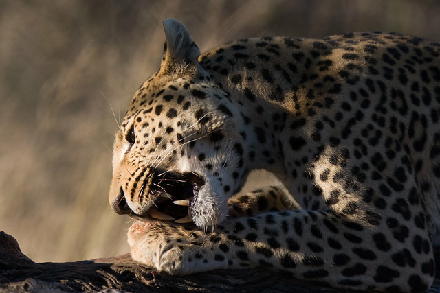 Leopards eating - photo#10