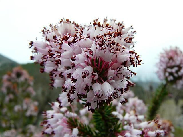 Flor Del Bruc Bruc D Hivern Erica Multiflora G 232 Nere D