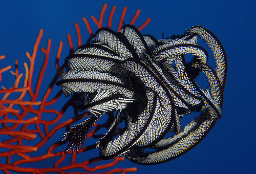 Crinoid on Seafan
