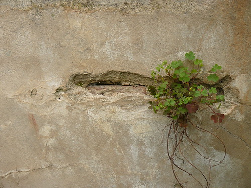 growing in the wall
