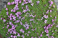 annual plant, shrub, flower, plant, breckland thyme, lilac, herb, wildflower, groundcover,
