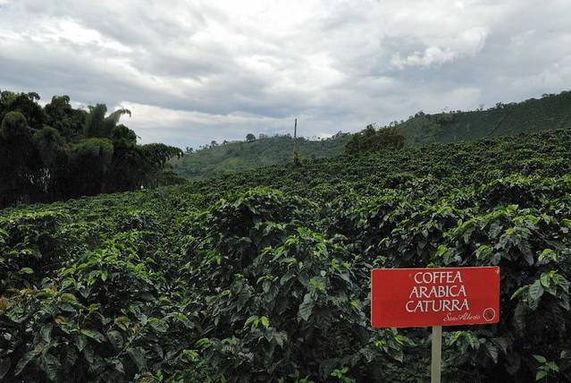Imagen de Cafetales en Buenavista, Quindio