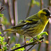 Eurasian Siskin - Photo (c) Max Westby, some rights reserved (CC BY-NC-SA)