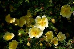 blossom, shrub, garden roses, flower, yellow, plant, rosa rubiginosa, wildflower, flora, rosa multiflora, rosa pimpinellifolia, petal,