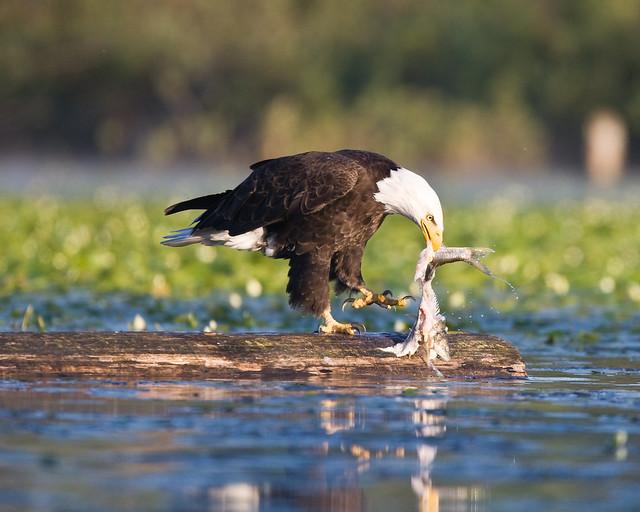 Bald eagle eating fish bold eagles pinterest for Fish eating eagle