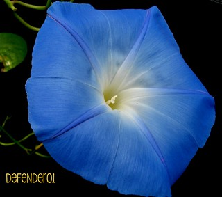 Blue Morning Glory Aug 2008 001