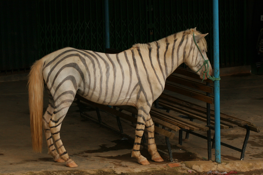 Zorse For Sale >> Zorse By Rose Keck