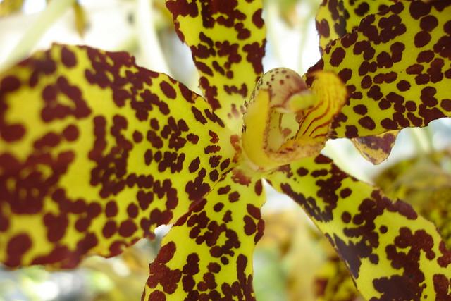 Tiger orchid (Grammatophyllum speciosum) in bloom. Photo by Dave Allen.