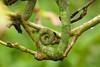 """<a href=""""http://www.flickr.com/photos/david_o/2876472772/"""">Photo of Calumma parsonii by David d'O</a>"""