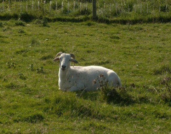 Sheep Lewes to Southease via West Firle