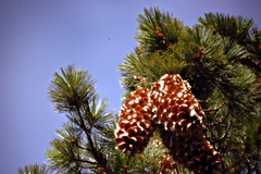 date palm(0.0), arecales(0.0), christmas decoration(0.0), produce(0.0), christmas tree(0.0), larch(1.0), evergreen(1.0), flower(1.0), branch(1.0), pine(1.0), tree(1.0), flora(1.0), conifer cone(1.0), fir(1.0), spruce(1.0),