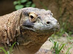 animal, reptile, lizard, komodo dragon, fauna, close-up, iguana, scaled reptile, wildlife,