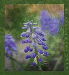 english lavender(0.0), lavender(0.0), bluebonnet(0.0), flower(1.0), purple(1.0), plant(1.0), lilac(1.0), lavender(1.0), herb(1.0), wildflower(1.0), flora(1.0),