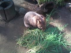 wildlife(0.0), animal(1.0), zoo(1.0), wombat(1.0), rodent(1.0), fauna(1.0),