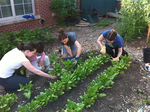 harvesting the spinach