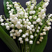 Lily of the valley/Convallaria majalis