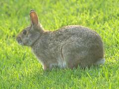 animal, prairie, hare, grass, rabbit, domestic rabbit, pet, fauna, wood rabbit, meadow, grassland, rabits and hares, wildlife,