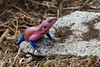 "<a href=""http://www.flickr.com/photos/stignygaard/2439826901/"">Photo of Agama agama by Stig Nygaard</a>"