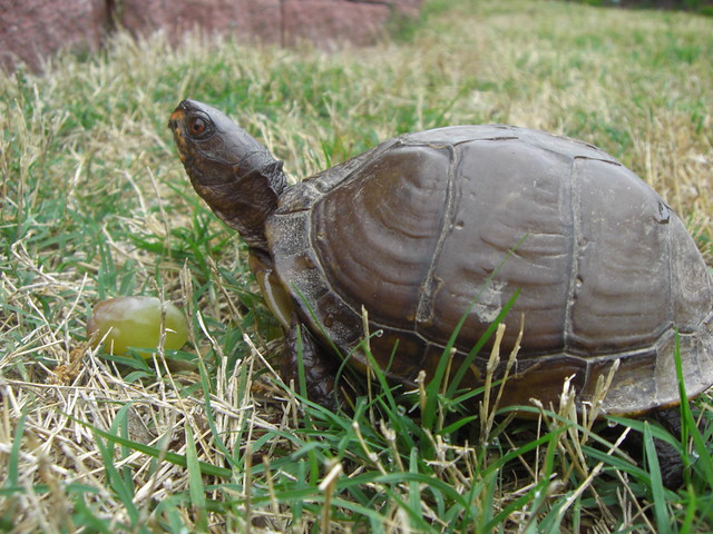 arkansas box turtle flickr   photo sharing