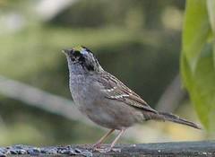 animal, sparrow, ortolan bunting, fauna, finch, emberizidae, beak, bird, lark, wildlife,