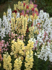 shrub, flower, plant, wildflower, flora, digitalis, snapdragon,
