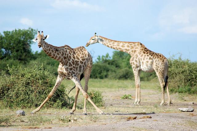 Jirafas en Botsuana