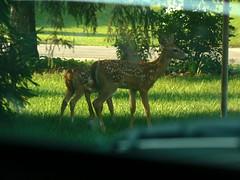 Fawns, in my neighborhood