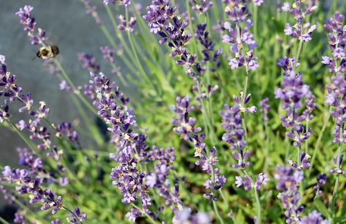 Lavender Bee Series VII