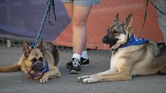 street dog(0.0), shikoku(0.0), norwegian elkhound(0.0), wolfdog(0.0), dog breed(1.0), german shepherd dog(1.0), animal(1.0), dog(1.0), pet(1.0), police dog(1.0), east-european shepherd(1.0), carnivoran(1.0),