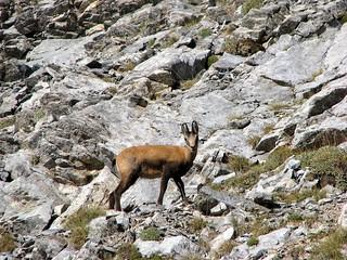 Olympus wild goat, agriogido