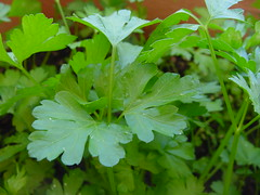 apiales(0.0), flower(0.0), brassica rapa(0.0), produce(0.0), annual plant(1.0), leaf(1.0), plant(1.0), parsley(1.0), food(1.0), coriander(1.0),