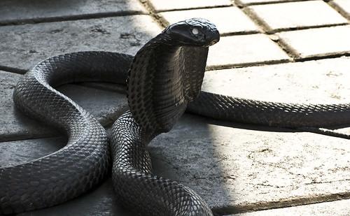 Cobra en la Plaza