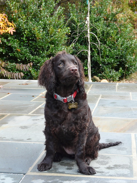 American Water Spaniel Pictures and Informations - Dog ... American Water Spaniel Dogtime