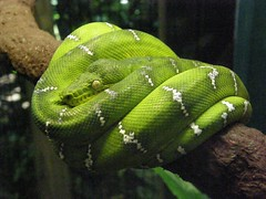 western green mamba(0.0), mamba(0.0), animal(1.0), serpent(1.0), snake(1.0), reptile(1.0), organism(1.0), macro photography(1.0), green(1.0), fauna(1.0), scaled reptile(1.0),