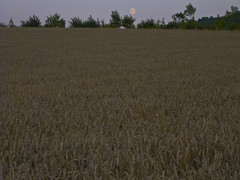 steppe(0.0), barley(0.0), soil(0.0), food(0.0), prairie(1.0), agriculture(1.0), triticale(1.0), rye(1.0), food grain(1.0), field(1.0), wheat(1.0), plain(1.0), plant(1.0), harvest(1.0), crop(1.0), grassland(1.0),